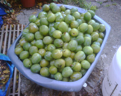harvest of greengages